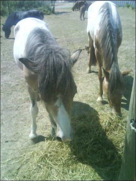 Le cheval est-il un ruminant ?
