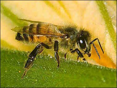 Comment s'appelle cet insecte ?