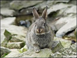 En 1850, combien y avait-il de lapins en Australie ?