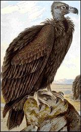 Quel est ce vautour ?