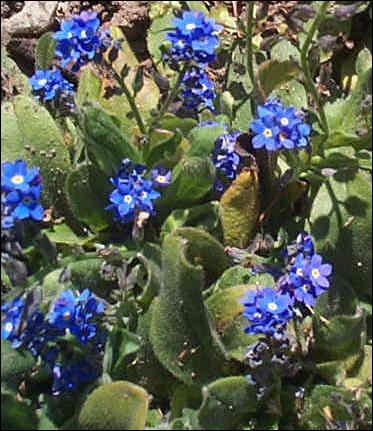 Comment appelle-t-on le myosotis ?