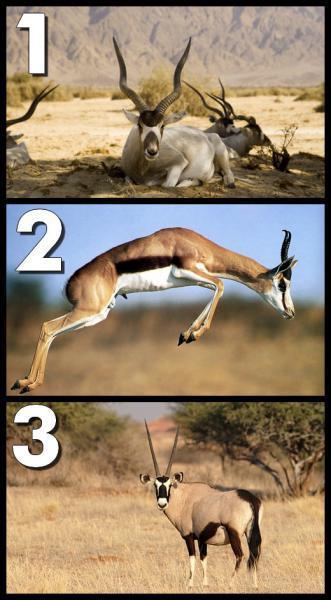 Parmi ces trois animaux, lequel peut véritablement être considéré comme une antilope ?