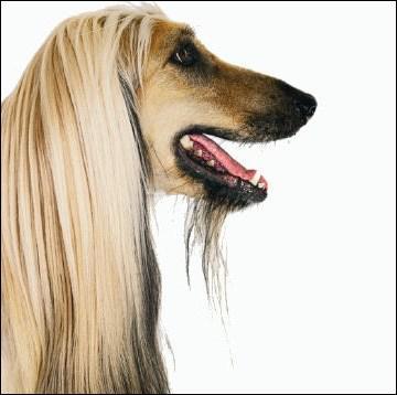 Et ce chien, quant à lui, est un lévrier :