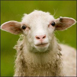 Comment appelle-t-on l'agneau femelle ?