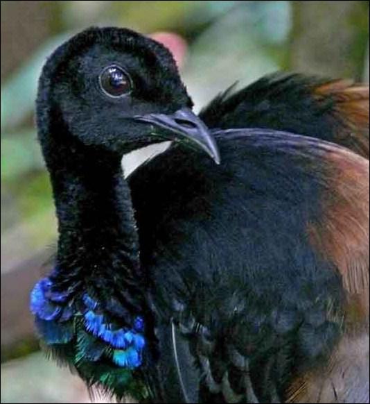 L'agami porte un surnom qui vient du cri éclatant du mâle. Lequel est-ce ?