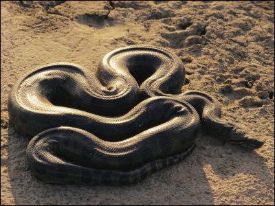 L'anaconda vit principalement :