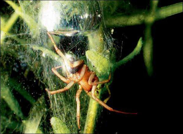 L'argyronète est un araignée qui vit dans les milieux :