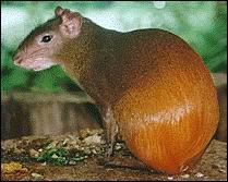 Quel est le nom de ce petit animal à l'arrière-train doré, rongeur des Antilles et d'Amérique du Sud ?