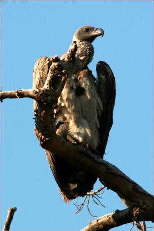 Certaines espèces peuvent entrer en collision avec des avions de ligne. A quelle altitude maximale a-t-on repéré des vautours de Rüppel ?