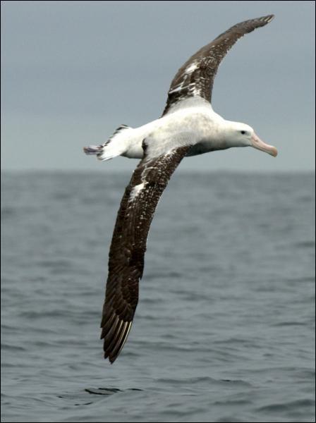 Quel est l'oiseau dont l'envergure est la plus grande (3, 50 mètres) ?