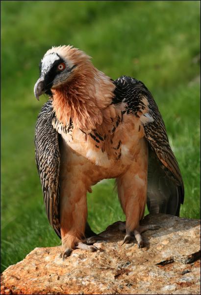 Le gypaète barbu est un vautour à l'alimentation particulière. Que mange-t-il surtout ?