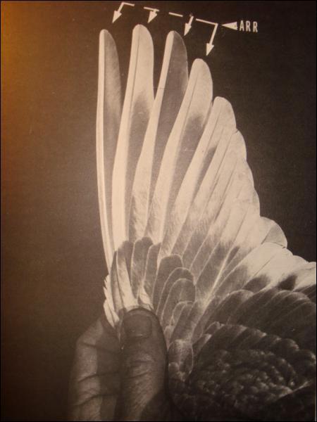 Comment s'appellent les plumes les plus longues situées sur les ailes ?