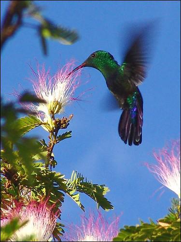 Quel oiseau est le seul à pouvoir voler à reculons ?