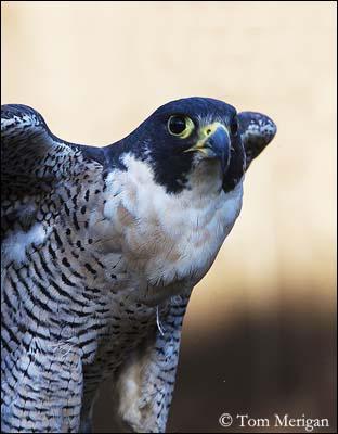 Quel oiseau détient le record de rapidité en vol, avec une vitesse de près de 200km/h ?