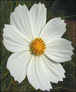 Cette fleur perd facilement ses pétales en temps de pluie. Quel est son nom ?