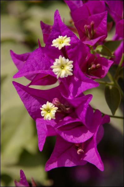 Rampante ou grimpante, elle possède des fleurs mauves. Quelle est-elle ?