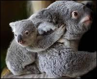 De quoi se nourrit le koala ?