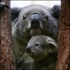 Que fait un koala lorsqu'il a peur ?
