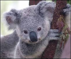 Combien de temps dort un koala ?
