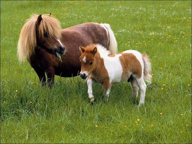 Quel est le plus petit cheval du monde ?