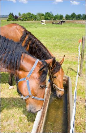 Combien de litres boit un cheval par jour ?