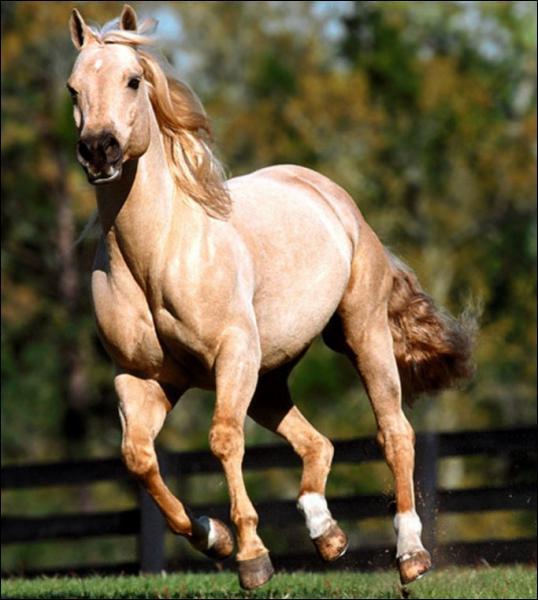 Chez le cheval, qu'est-ce que la balzane ?