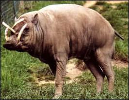 Quel est cet animal, porc sauvage de Celèbes ?