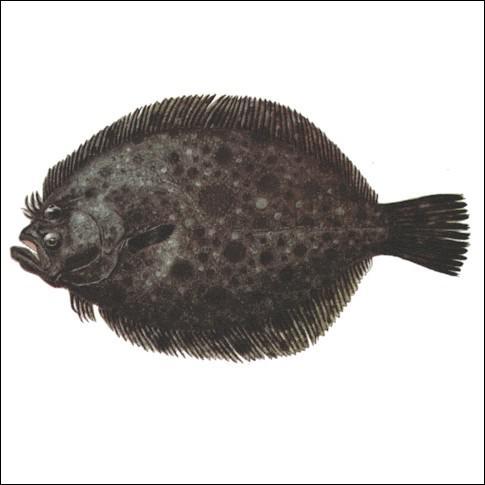 Ce poisson marin, à chair estimée, voisin du turbot, est :
