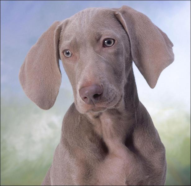 Ce chien est un braque :