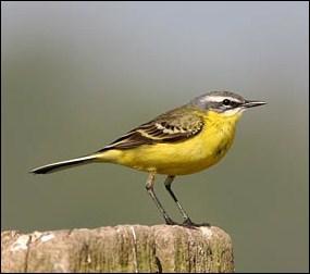 Cet oiseau marche en hochant sa large queue. C'est :