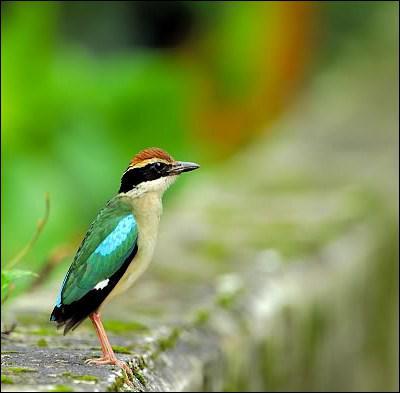Où vit la brève, un passereau aux vives couleurs ?