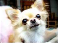 Quelle est la plus petite race de chien du monde ?