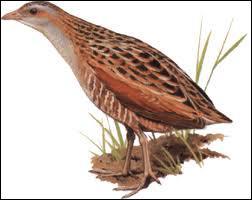 Comment s'appelle cet oiseau très connu pour son cri nocturne ?