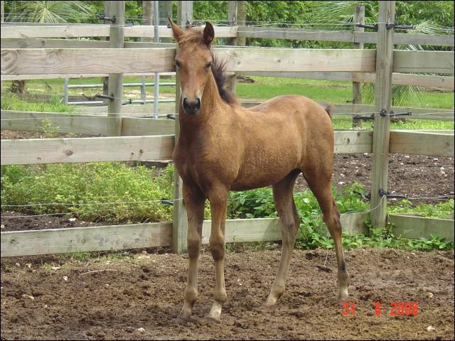 Laquelle de ces races n'est pas un poney ?