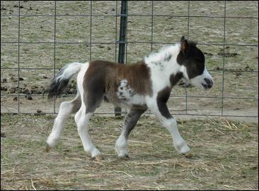 Quel cheval est surnommé 'miniature' du fait de sa petite taille ?