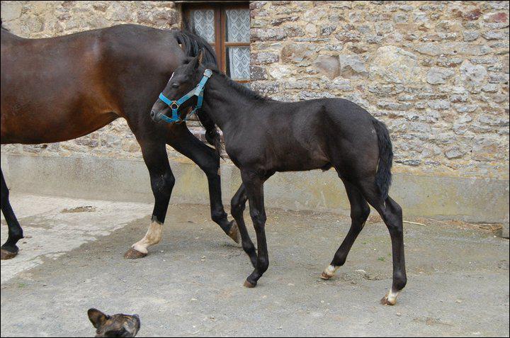 Quel cheval excelle en course, attelé à un sulky ?