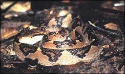 Connaissez-vous ce serpent ?