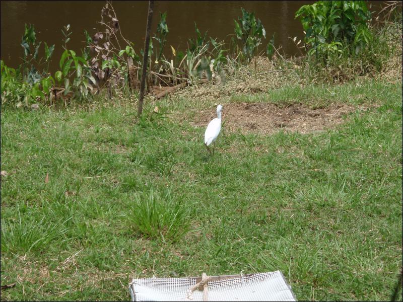 Et cet oiseau de Guyane, tout blanc est ...