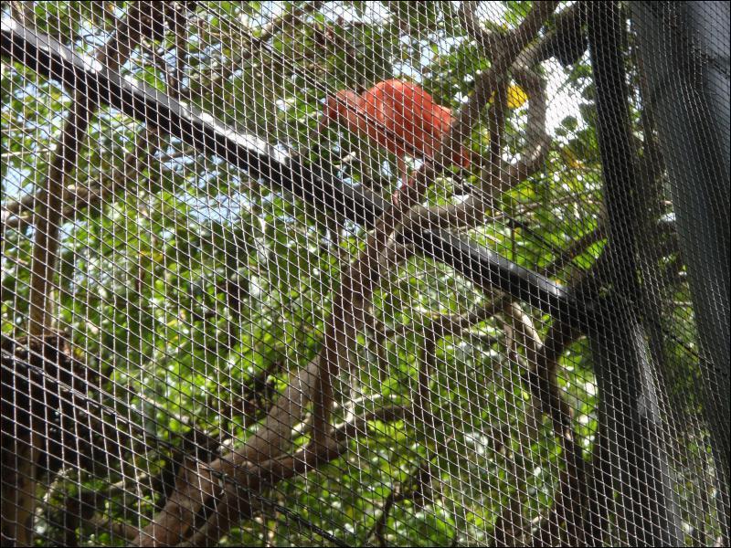 On le trouve dans les mangroves !