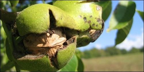 Comment s'appelle l'écorce verte d'une noix ?