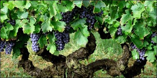 Comment s'appelle un pied de vigne ?