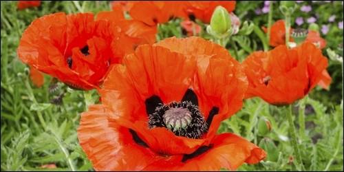 Quelle plante produit l'opium ?