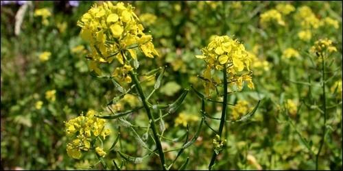 Quelle est la couleur de la fleur de moutarde ?