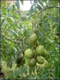 Son appellation de prune vient de sa ressemblance avec les nôtres !