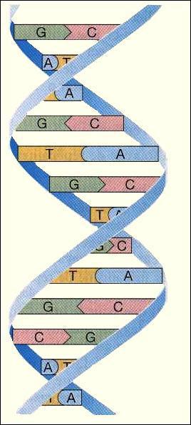 Que veut dire ADN ?