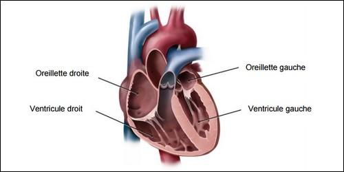 Dans le coeur humain, nous avons deux oreillettes, mais quel est le nom scientifique de l'oreillette ?