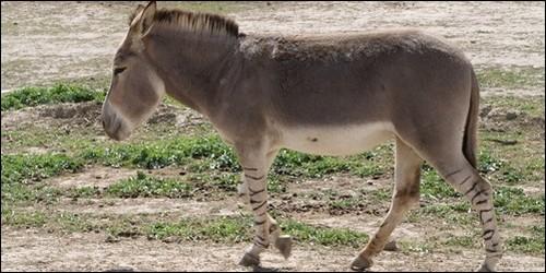 Quel est l'autre nom de l'onagre, âne sauvage d'Asie ?