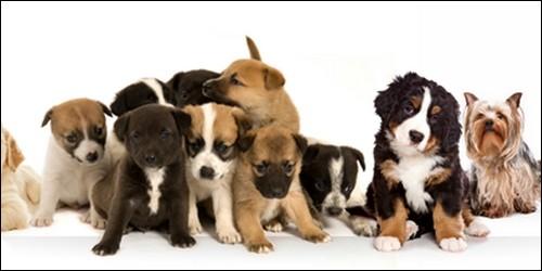 Combien la fédération cynologique internationale a-t-elle recensée de races de chiens environ ?