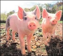 Comment dit-on ' cochon ' en anglais ?