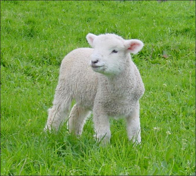 Le mouton est un mammifère domestique herbivore de la famille des ovidés. L'animal jeune est l'agneau. Mais, quel est le féminin de ce dernier ?